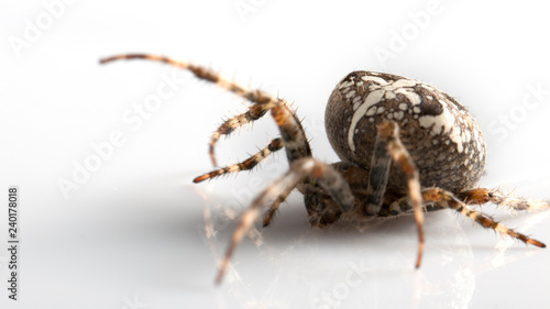 Araneidae Garden spider on the black background close up
