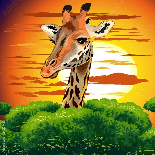 Poster Draw Giraffe on Wild African Savanna Sunset