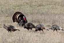A Wild Tom Turkey Displays In Front Of Several Hens