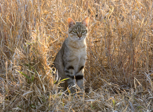 Photo  A wild cat in Kruger National Park