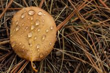 Water Droplets Suspended On A Leaf Laying On The Forest Floor