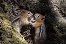 Two Chipmunks Wrestling At The Bottom Of A Tree Trunk