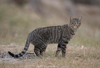 feral wild cat in outback Queensland, Australia.