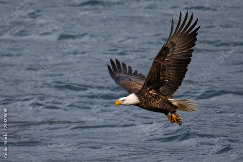 Garden Poster Eagle Adult Bald Eagle with Fish - Full Wingspread Over Choppy Lake