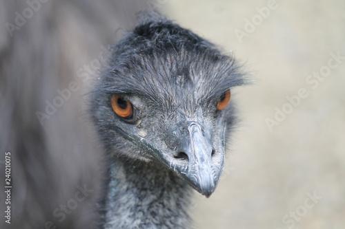 Fotografie, Tablou bird, ostrich, animal, beak, emu, head, nature, portrait, wildlife, zoo, eye, ne