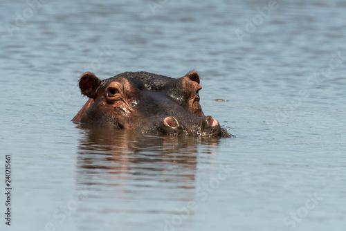 Hippopotame, Hippopotamus amphibius, Afrique