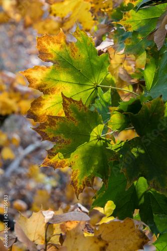 Photo sur Aluminium Vignoble Colorful maple leaves.