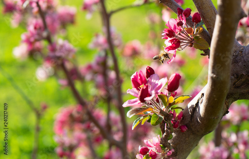 peach tree blossoms in spring