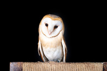 Owl Barn Wildlife Bird Animal ...