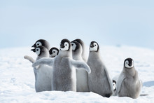 Emperor Penguins Chicks On Ice...