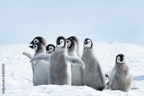 Emperor Penguins chicks on ice in Antarctica