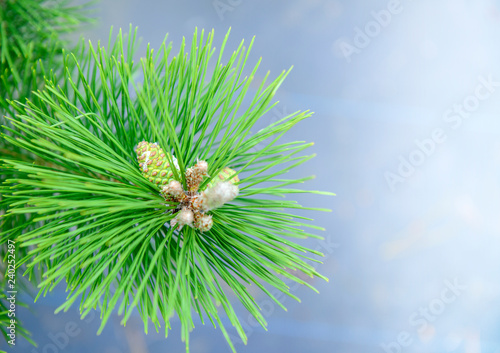 pine-tree with cones, close up