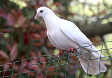 Dove Resting On A Wire Mesh