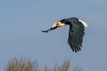 Wreathed Hornbill In Flight