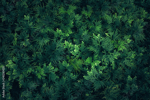 Fotografija  Nature leaves green of fern background in garden at spring