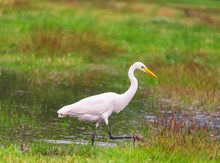 Ardea Alba Are Living Food Naturally.