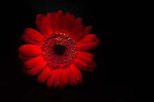 Dark Red Gerbera Isolated On Black Background Copy Space With Place For Text.