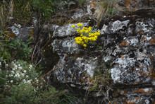 Yellow Wild Flowers Growing On The Rocks Covered With Lichen.