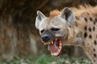 canvas print picture - The hyena is Africa's most common large carnivore.