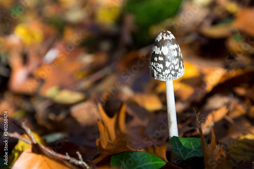 Fotografie, Obraz  champignon en sous bois automne coprin chevelu