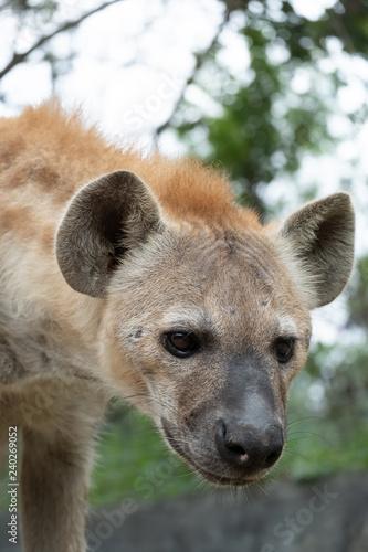 Foto op Aluminium Hyena hyena