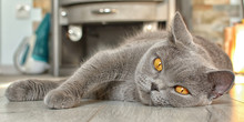 British Shorthair Cat With Expressive Orange Eyes, Lying In Front Of The Fireplace On The Laminate. Looking At Camera.