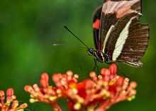 Butterfly On The - Butterfly Heliconius Erato Phyllis On The Flower Jatropha Podagrica
