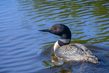 Common Loon In Lake