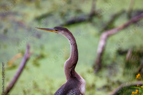 Fotografie, Obraz  A sleek long necked Anhinga perches above the marsh waters in its natural landsc