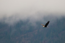 Bald Eagle Soars Along A Hillside During A Cloudy And Foggy/misty Day In Coeur D'alene Idaho