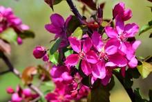 Elma Ağacı çiçeği