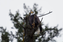 Bald Eagle Staring Down While Perched On A Branch In Northern Idaho