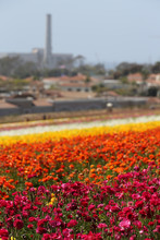 Colorful Flower Fields In Carl...