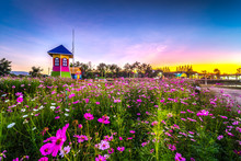 CHIANG MAI, THAILAND - DECEMBER 23: Cosmos Flower Field And Wind Mill In The Garden Of  Muangkaen Municipality , Being Decorated For Tourism In Winter, Chiang Mai ,Thailand In December 23, 2018.