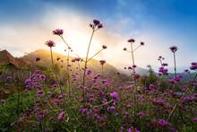 Violet Verbena Flowers Field O...