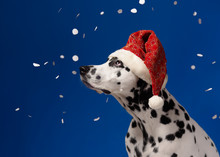 Dalmatian Dog Portrait Wearing Santa Hat Looking To The Left, Isolated On Blue Background With Artifical Snow Flakes. Shot In Studio. Copy Space