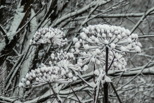 Fotografie, Obraz  Dried umbels of hogweed loaded with snow