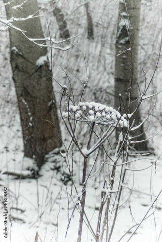 Fotografie, Obraz Dried common hogweed in the snow, against a background of tree s