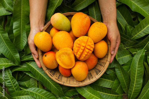 Fototapeta Hand of farmer carrying mango fruit in wooden basket putting on tropical green l