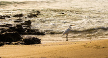Great Egret Wading In The Surf...