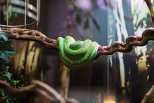 Green Snake Resting On A Branch In A Terrarium At The Zoo