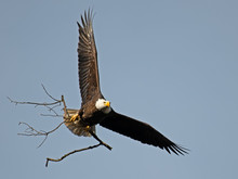 Bald Eagle In Flight With Stic...
