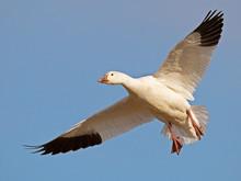 Snow Goose In Flight Wings Spr...