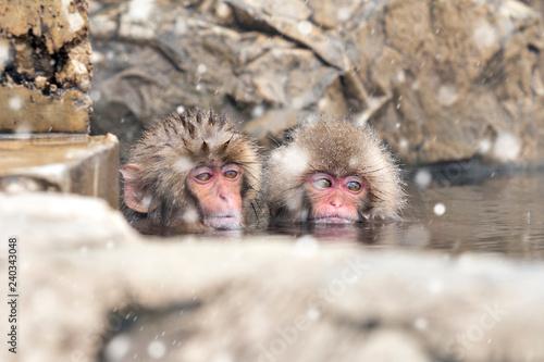Fotografie, Obraz  Two Baby Monkeys Bathing in Natural Onsen in Winter, Jigokudani SNow Monkey Park