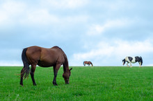 Horses And A Pony Grazing In A...