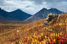 Beautiful Autumn Tundra. September In The Far North Near The Arctic Circle. Red And Yellow Leaves And White Flower. Stone With Lichen. Mountains In The Background. Egvekinot, Chukotka, Russia.