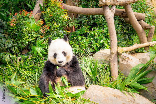 Panda is eating bamboo leaf for lunch Canvas Print