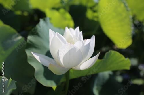 Garden Poster Lotus flower 白いスイレンの花