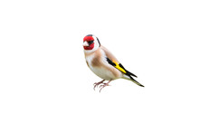 Goldfinch Isolated On White Ba...