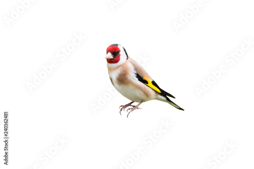 Cuadros en Lienzo goldfinch isolated on white background